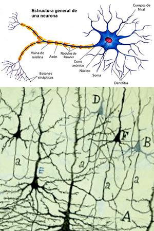 La vida secreta de las neuronas - Cierta ciencia podcast - CienciaEs.com