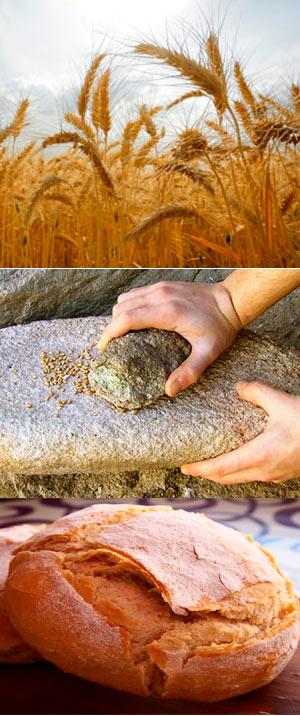 Ancestros del pan. - Quilo de Ciencia podcast- CienciaEs.com