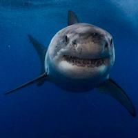 Tiburones contra el infarto - Quilo de Ciencia podcast - CienciaEs.com