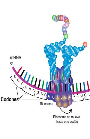 Mecanismos moleculares contra el sinsentido - Quilo de Ciencia podcast - CienciaEs.com