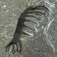 Ovatiovermis - Zoo de fósiles podcast - CienciaEs.com