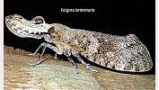 Fulgora lanternaria