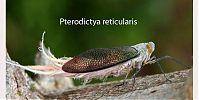 Pterodictya reticularis - Seis patas tiene la vida - cienciaes.com