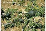 espinas bulbosas de la acacia drepanolobium