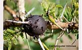 crematogaster mimosae en una espina de acacia