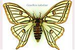 Graellsia isabelae - cienciaes.com