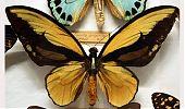 Ornithoptera - Seis patas tiene la vida - cienciaes.com