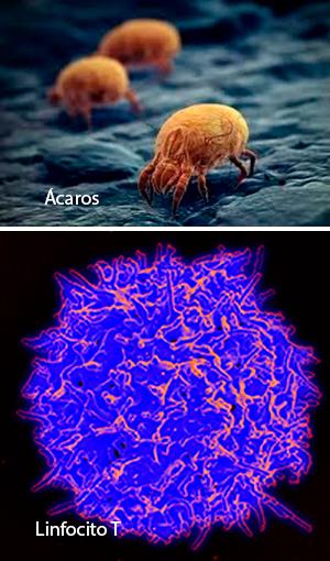 Linfocito antialérgico - Quilo de Ciencia podcast - CienciaEs.com