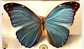 Mariposa del género morpho - cienciaes-com
