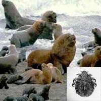 Piojo sumergible - Quilo de Ciencia podcast - CienciaEs.com