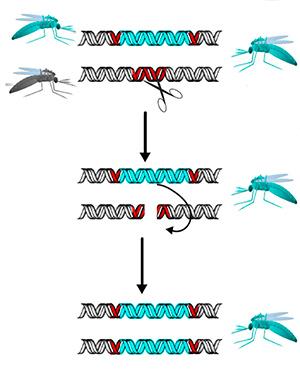 Freno genético - Quilo de Ciencia podcast - CienciaEs.com