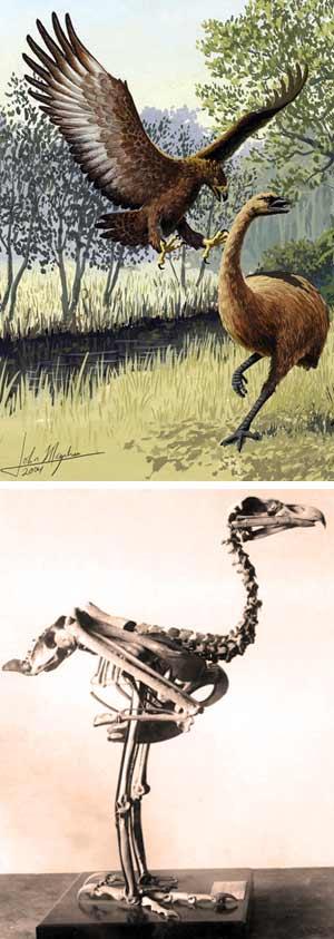 Águila de Haast. - Zoo de fósiles.