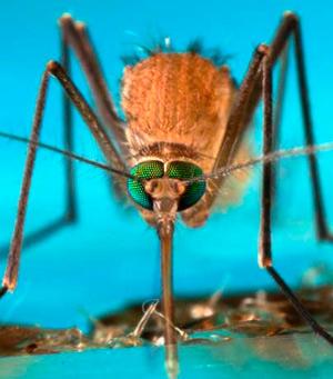 Mosquitos - Quilo de Ciencia podcast - CienciaEs.com