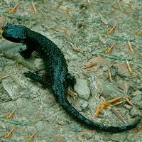 Albanerpetóntidos - Zoo de fósiles podcast - Cienciaes.com