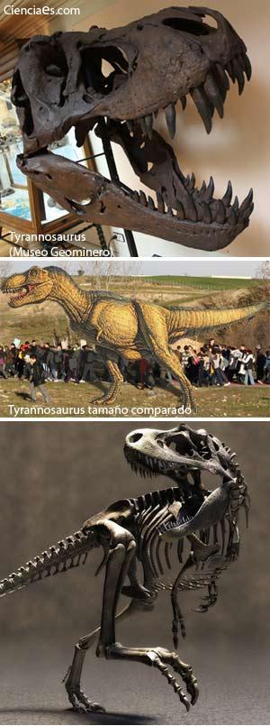 Tyrannosaurus rex - Zoo de Fósiles