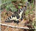 Papilio machaon (Macaón) -- Seis patas tiene la vida podcast - cienciaes.com