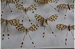 Nemoptera bipennis. Hablando con científicos