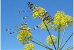 Nemoptera bipennis. Hablando con científicos. (Foto Manuel González Núñez)