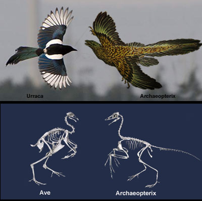 Urraca versus archaeopterix